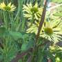 New Echinacea, but no name ! Any ideas !