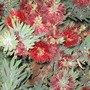 Dwarf Bottlebrush (Callistemon citrinus (Bottle brush) dwarf)