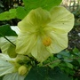 Abutilon_f1_bella_..lemon_..