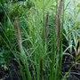 Pennisetum_alopecuroides_f.viridescens.2