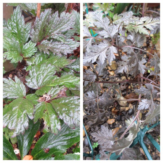 Brown leaved plants (Cimicifuga simplex (Bugbane))