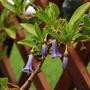 Iochroma australis (Iochroma australis)