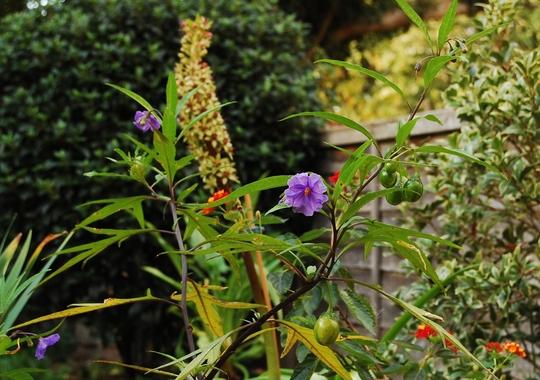 Solanum laciniatum (Solanum laciniatum (Kangaroo Apple))