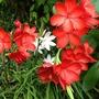 Pink and Red Schizostylis (Kaffir Lily) (Schizostylis coccinea (Kaffir Lily))