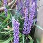 Liriope muscari (Lilyturf)