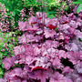 Heuchera_georgia_plum