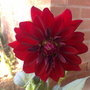 Bishop_of_canterbury_dahlia