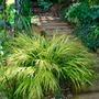 My Hakon grass......... (Hakonechloa macra Alboaurea)