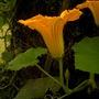 Banana Squash Blossom