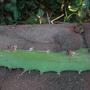 Hylocereus undatus - Dragon Fruit Vine Buds (Hylocereus undatus - Dragon Fruit Vine Flowers)