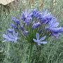 Agapanthus_campanulatus_blue_form