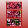 Heuchera_fire_chief