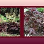 Heuchera_purple_palace
