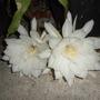 Epiphyllum oxypetalum  Flowering Tonight (Epiphyllum oxypetalum)