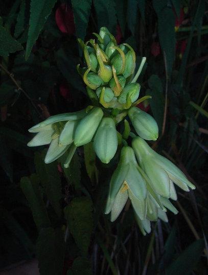 Galtonia viridiflora (Galtonia viridiflora)