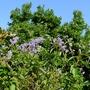 Ceanothus_gloire_de_versailles_autumn_flowering_2015