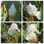 Immortality in Autumn, October  (Iris germanica (Orris))