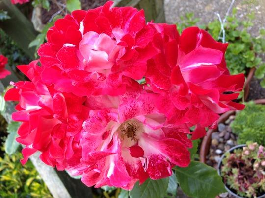 Rose - 'My Mum'