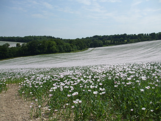 white Poppy fields