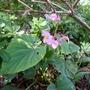 Begonia grandis subsp evansiana - 2015 (Begonia grandis)