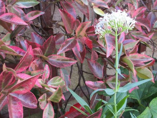 Autumn Red (Trachelospermum jasminoides 'variegatum')