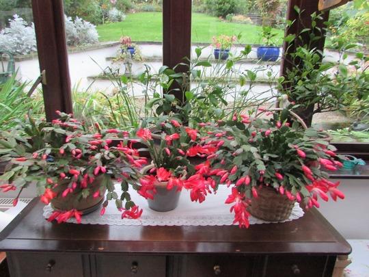 Flowering 'Christmas' cacti.  (Schlumbergera)