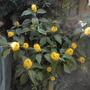 Justicia aurea - Yellow Jacobinia Flowering (Justicia aurea - Yellow Jacobinia)