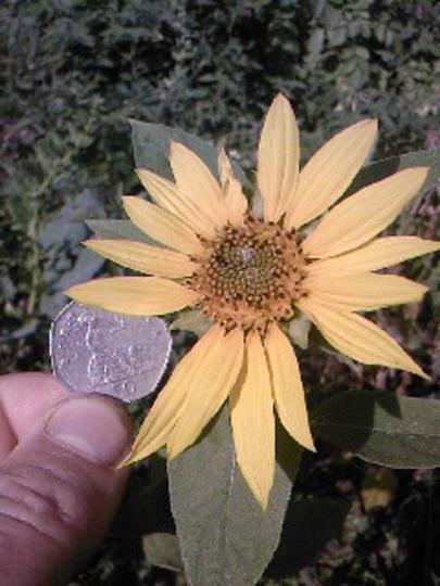 Smallest Sunflower