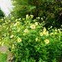 Helianthus ..Lemon Queen ..