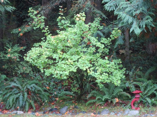 White Flowering Currant