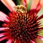 A garden flower photo (Echinacea 'Sunset')