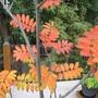 Sorbus aucuparia / Mountain Ash