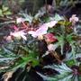Begonia_sikkimensis_2015