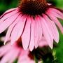 A garden flower photo (Echinacea purpurea 'Magnus')