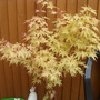 my acer bush gone o lovely shade of yellow