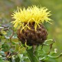 Centaurea macrocephala - first flower for my records. (Centaurea macrocephala (Great Golden Knapweed))