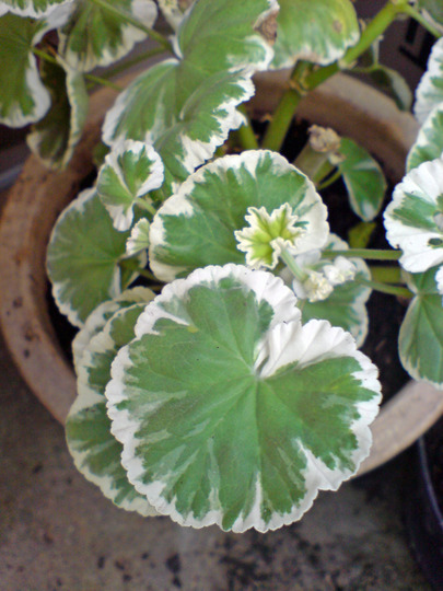 DSC00077_edited.jpg (Pelargonium hortorum)