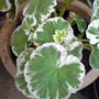DSC00077_edited.jpg (Pelargonium hortorum)