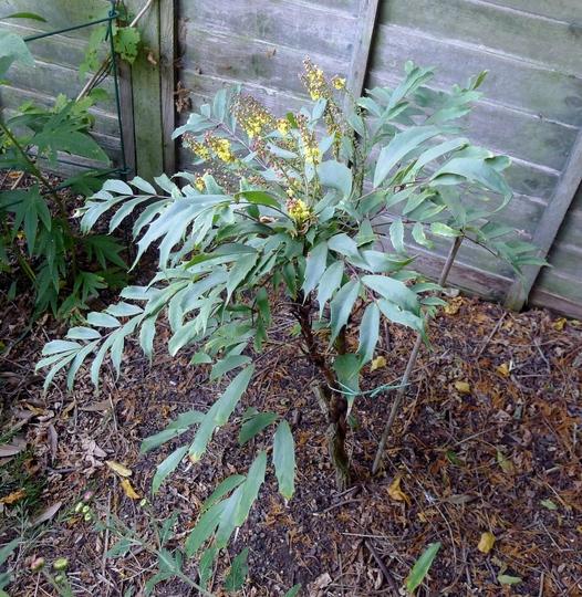 Mahonia eurybracteata -2015 (Mahonia eurybracteata)