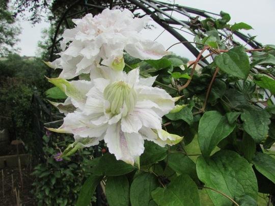 Clematis. White. Josephine