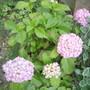 Hydrangea at Shenstone 07.08 (Hydrangea macrophylla)
