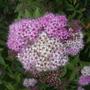 Spiraea_japonica_shirbanacloseupvistabileconiferborder22.07.08