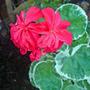 geranium oct 07 (Pelargonium hortorum)