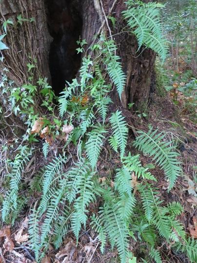 Polypodium glycyrrhiza/ Licorice fern