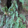 Polypodium_glycyrrhiza