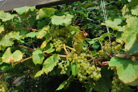 Last of the harvest.... (Vitis Vroege v.d. Laan)