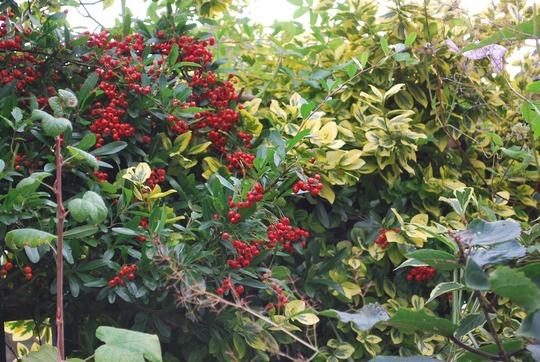 Pyracantha berries with Euonymus  emerald and gold... (Euonymus   emerald'n gold)