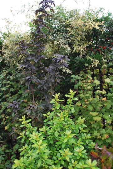 Sambucus against background of Shrubs and variegated Jasmine. (Sambucus nigra (Black Tower.)