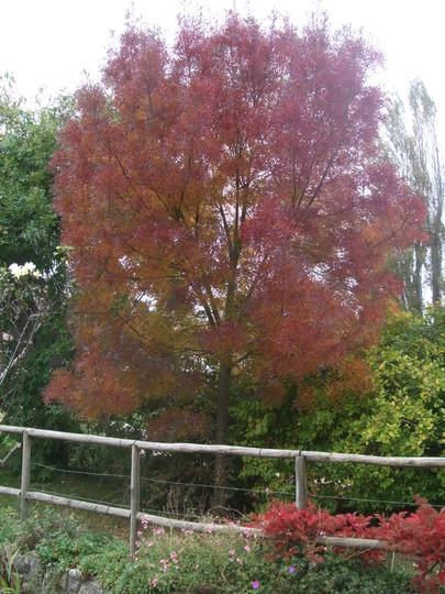 Fraxinus angustifolia 'Raywood'  (Fraxinus augustifolia)