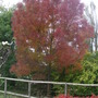 Fraxinus_angustifolia_raywood